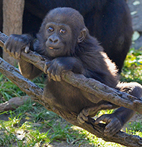 Go Bananas! for Gladys! Recycling phones saves gorilla habitat.