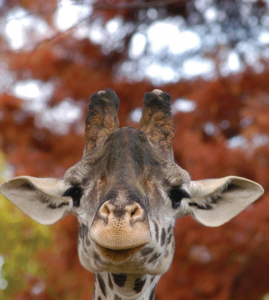 Cincinnati Zoo Mourns Loss Of Giraffe Cincinnati Zoo
