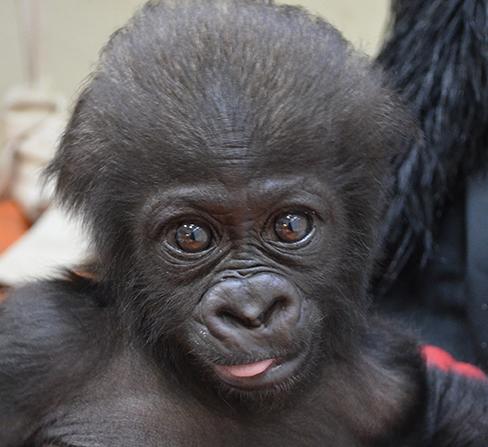 Cincinnati Zoo Gorillas Celebrate Two Big Milestone