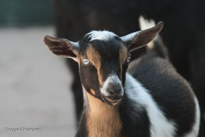 Front view of a goat