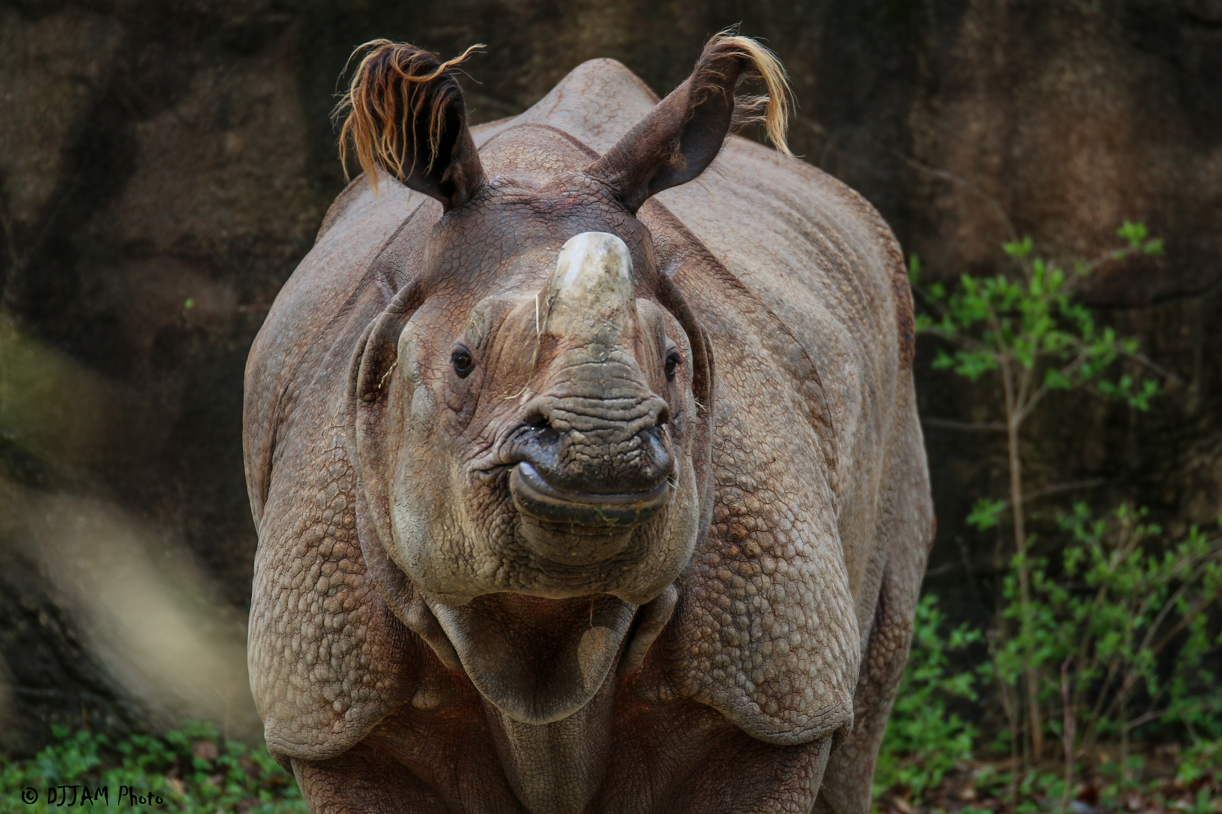 front view of an indian rhino