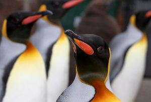 Front view of a King Penguin