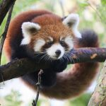 a red panda climbing on a branch