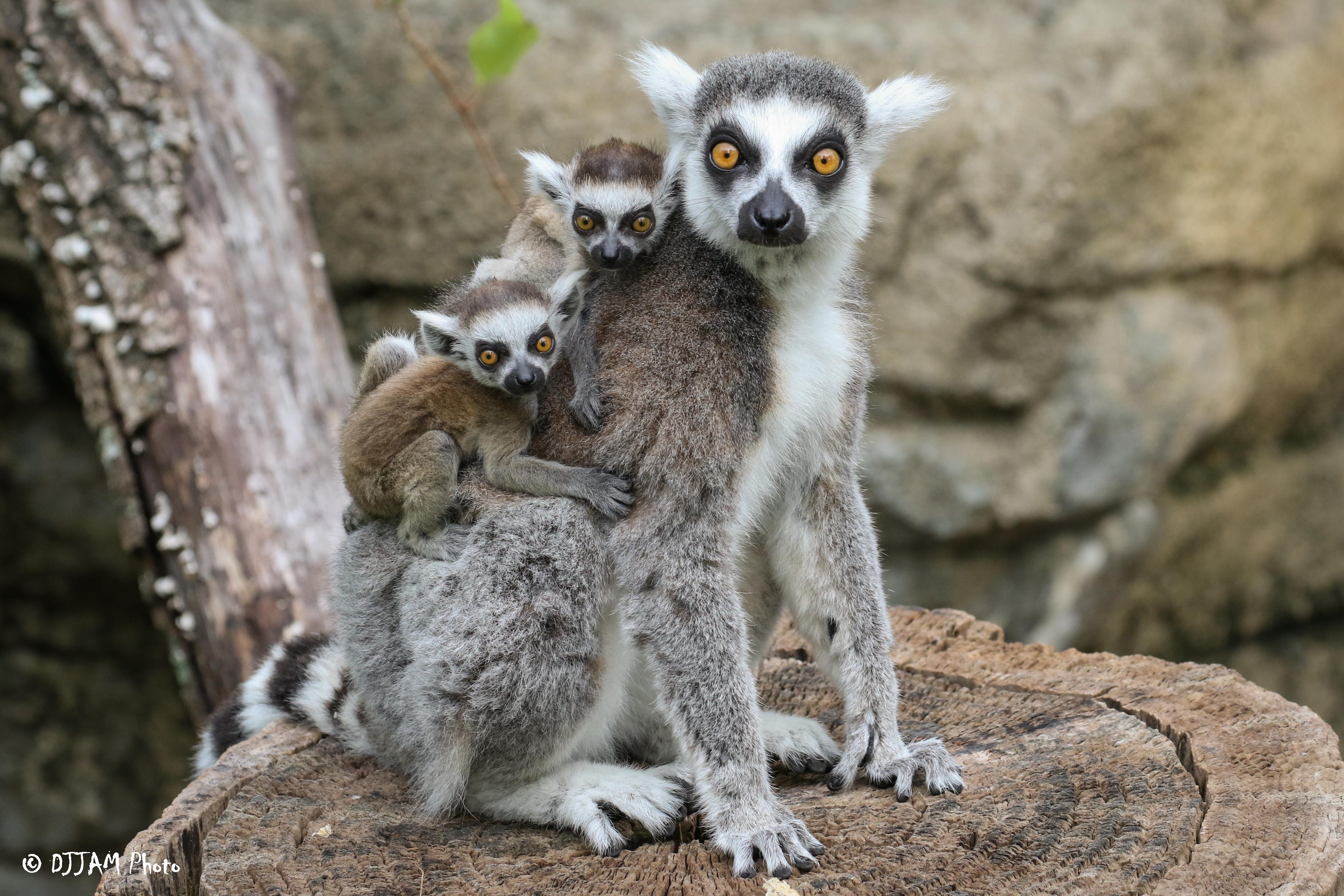 ring tailed lemur cincinnati zoo botanical garden