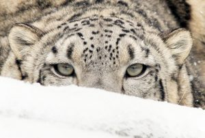 Snow Leopard Laying in the snow