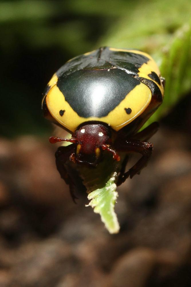 Yellow-bellied Beetle - Cincinnati Zoo & Botanical Garden®