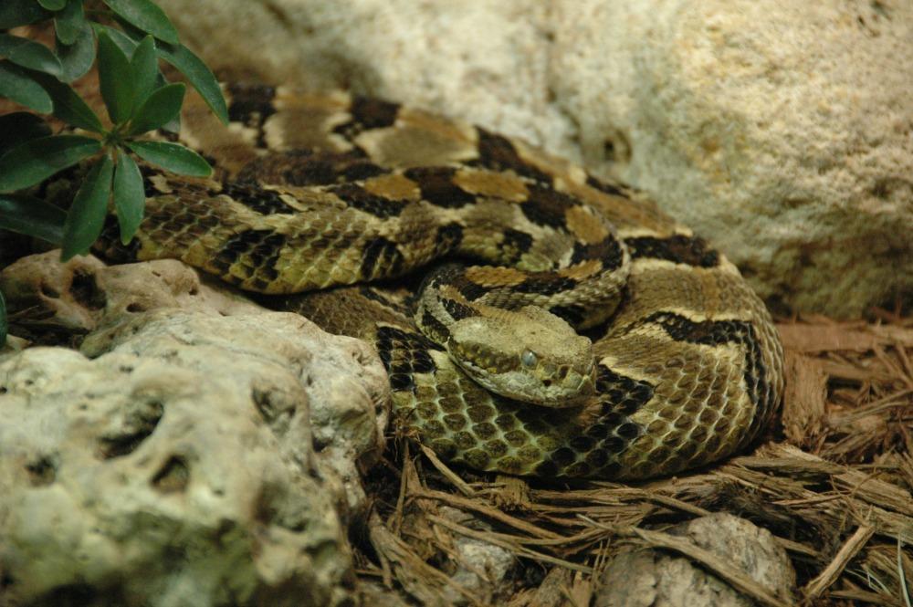 Timber Rattlesnake - Cincinnati Zoo & Botanical Garden®
