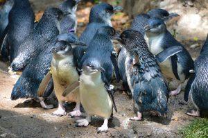 group of little penguin hanging together