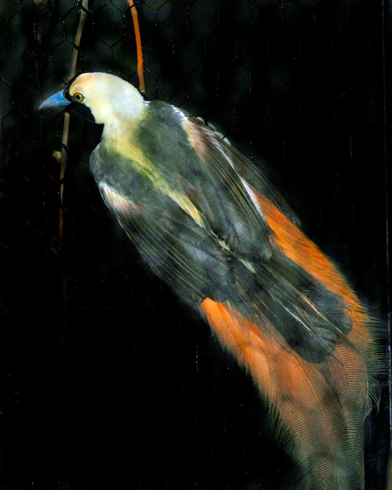 Raggiana Bird-of-paradise - Cincinnati Zoo & Botanical Garden®