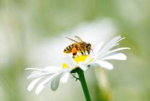 a honey bee collecting pollen