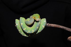 front view of a green tree python curled up on a branch