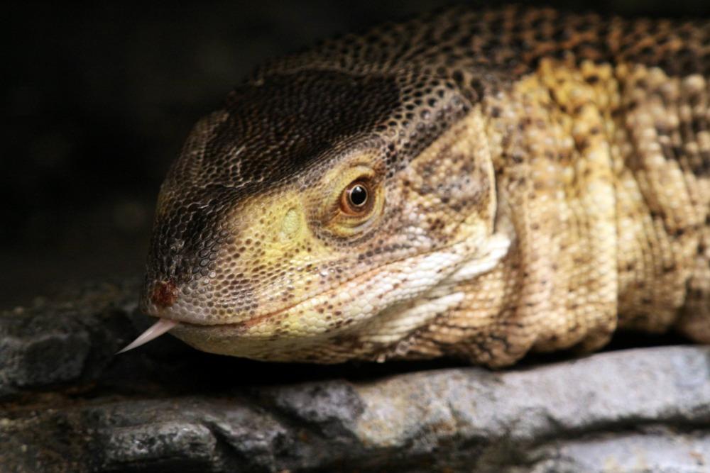 White-throated Monitor - Cincinnati Zoo & Botanical Garden®