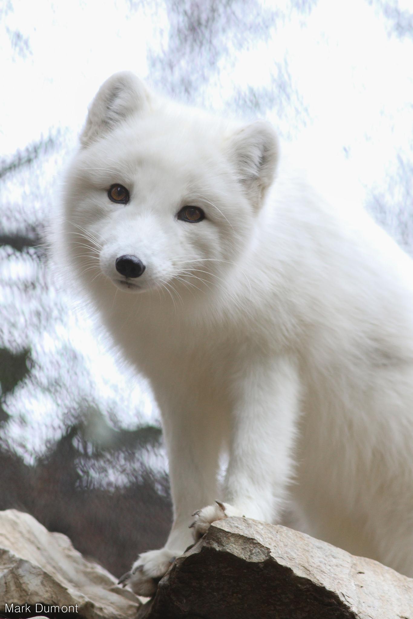 Arctic Fox Cincinnati Zoo Amp Botanical Garden 174