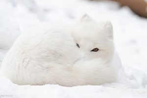 an arctic fox curled up