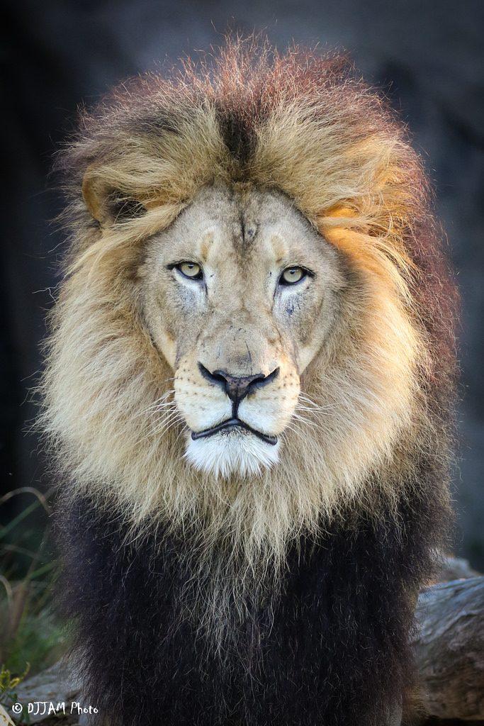 African Lion Cincinnati Zoo Amp Botanical Garden 174