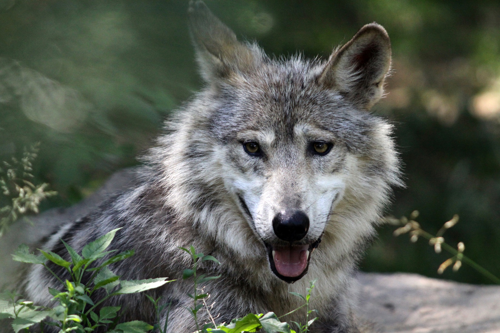 Wolf Woods Cincinnati Zoo Amp Botanical Garden 174
