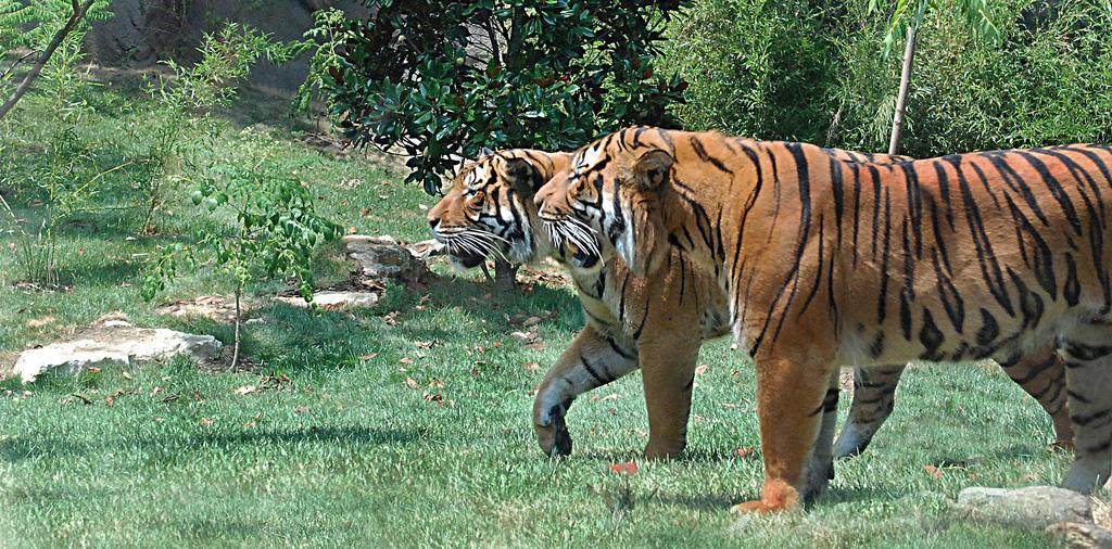 Celebrate International Tiger Day July 29 Cincinnati