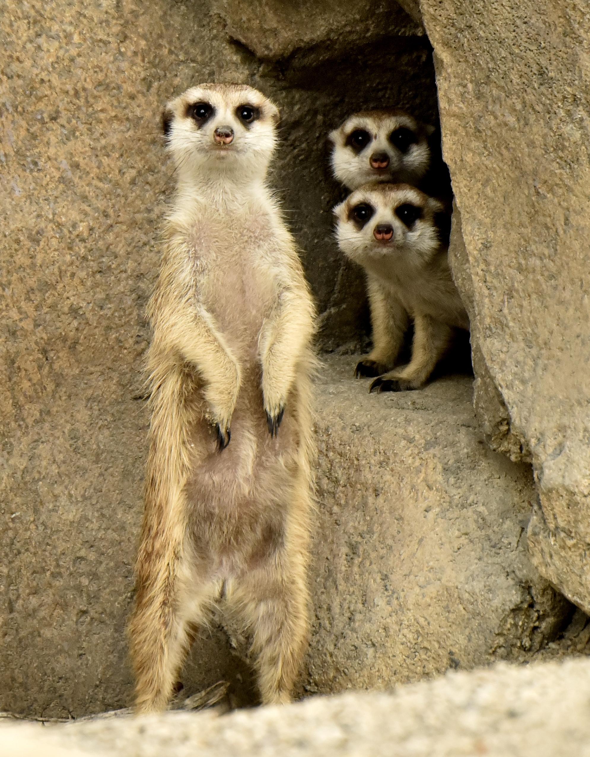 Meerkat Cincinnati Zoo Amp Botanical Garden 174