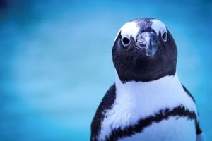 African Penguin (Photo: SANCCOB)