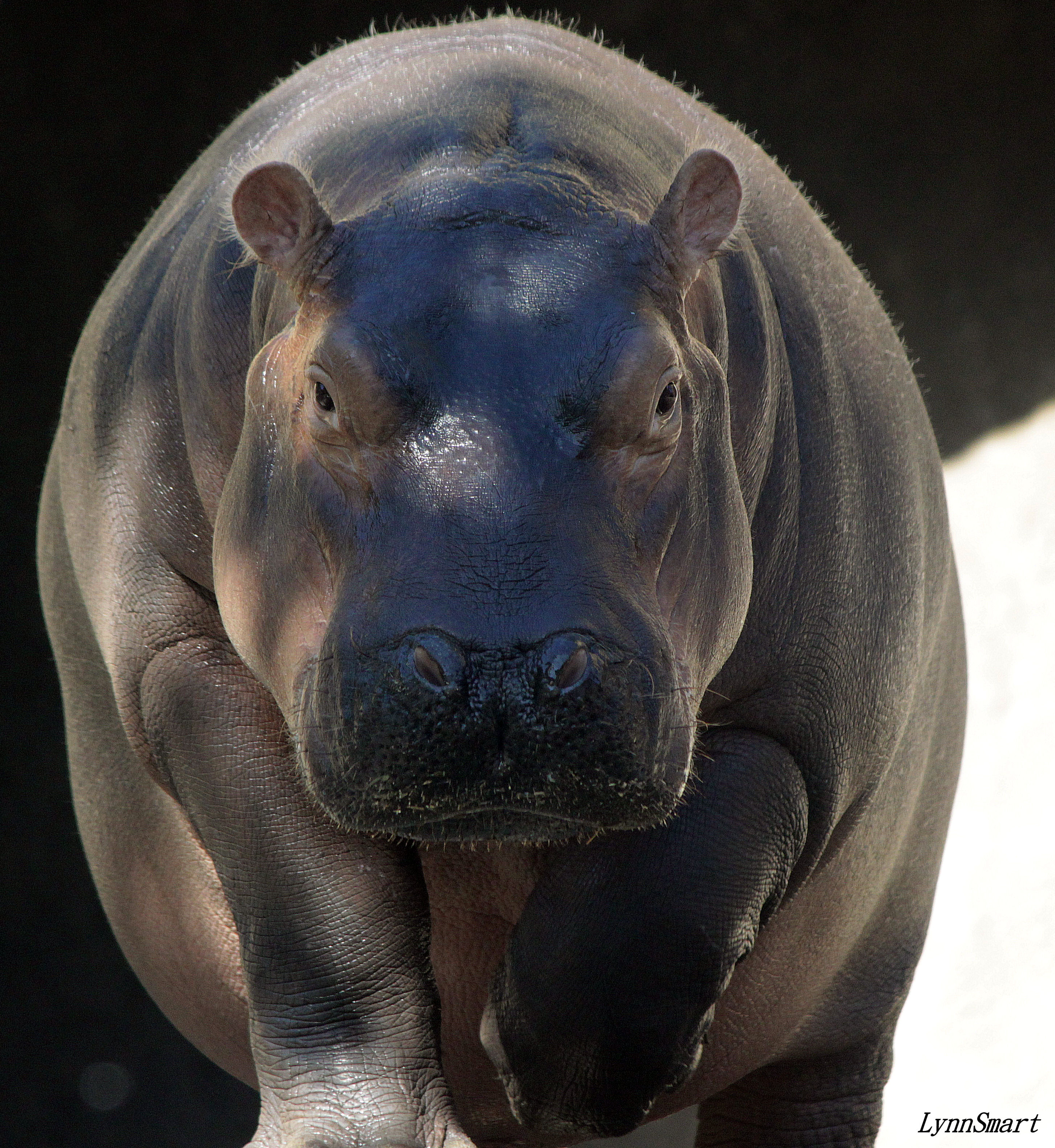 Fiona the hippo front view