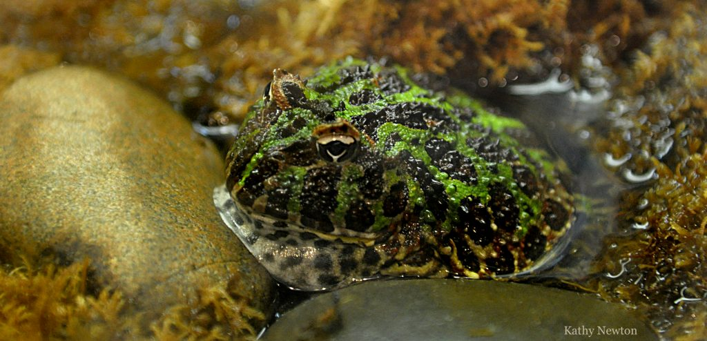 Ornate Horned Frog Cincinnati Zoo Amp Botanical Garden 174