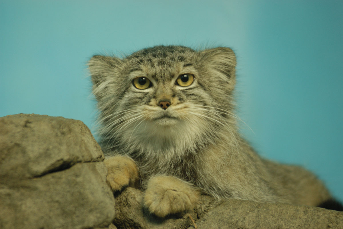 Pallas' cat (Photo: David Jenike)