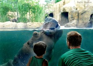 young boy and adult male look through the glass to fiona the hippo in the water