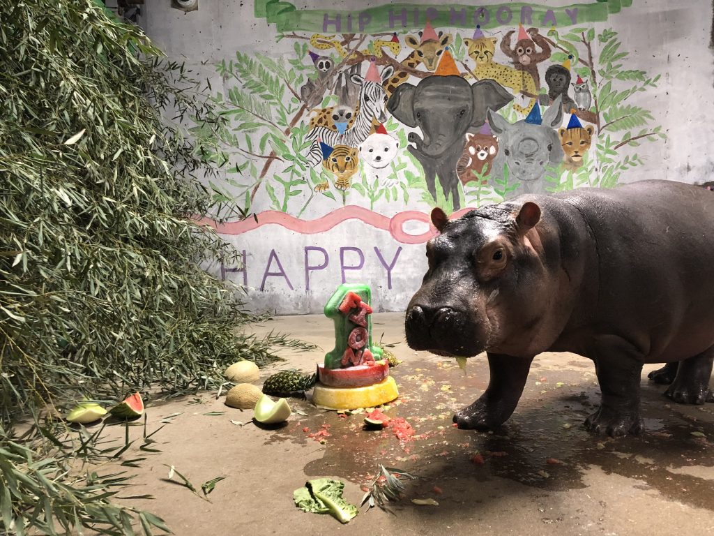Happy First Birthday To Fiona Cincinnati Zoo