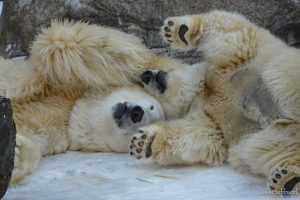 polar bears little one and anana