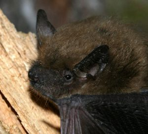 Big brown bat (Photo: Patrick Coin)