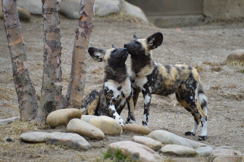 two painted dogs greeting each other