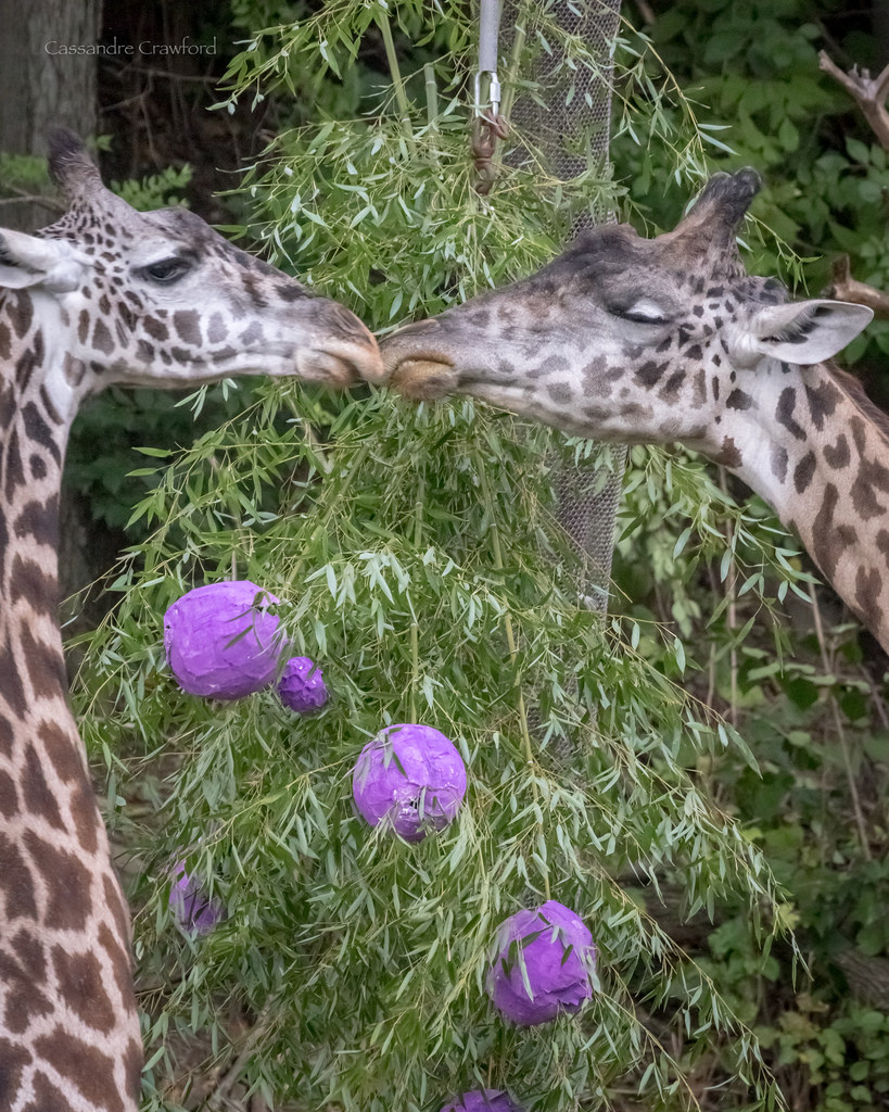 Two Giraffes greeting each other