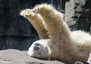 polar bear laying on its back stretching