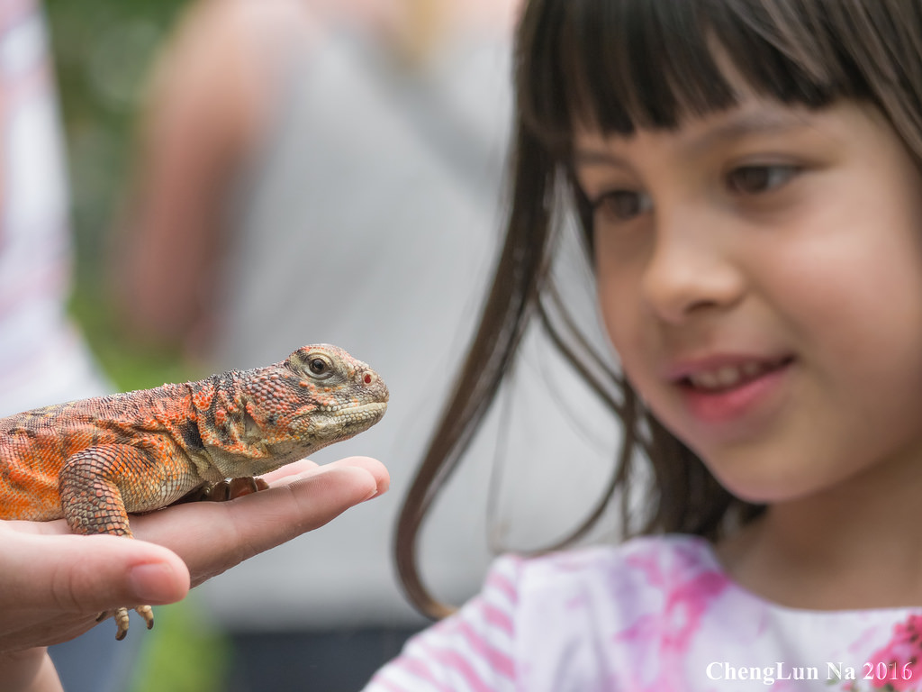 Child looking at spiny tailed lizard