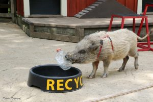 Pig recycling a water bottle