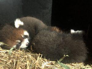 red panda cub in nest box