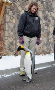 King Penguin walking through the zoo