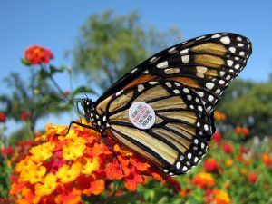 Monarch butterfly on a flower with a monarch watch tag