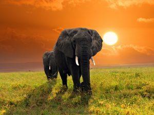 Safari African Elephant