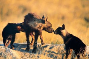 painted dogs in botswana