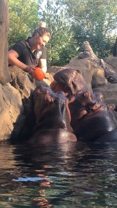 Animal care staff giving Fiona and Bibi Pumpkin enrichment
