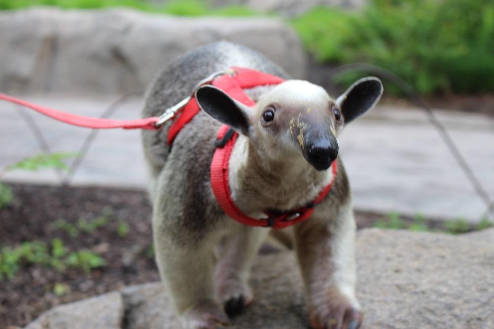 New Tamandua Baby Makes Cincinnati Zoo S Holiday Bright