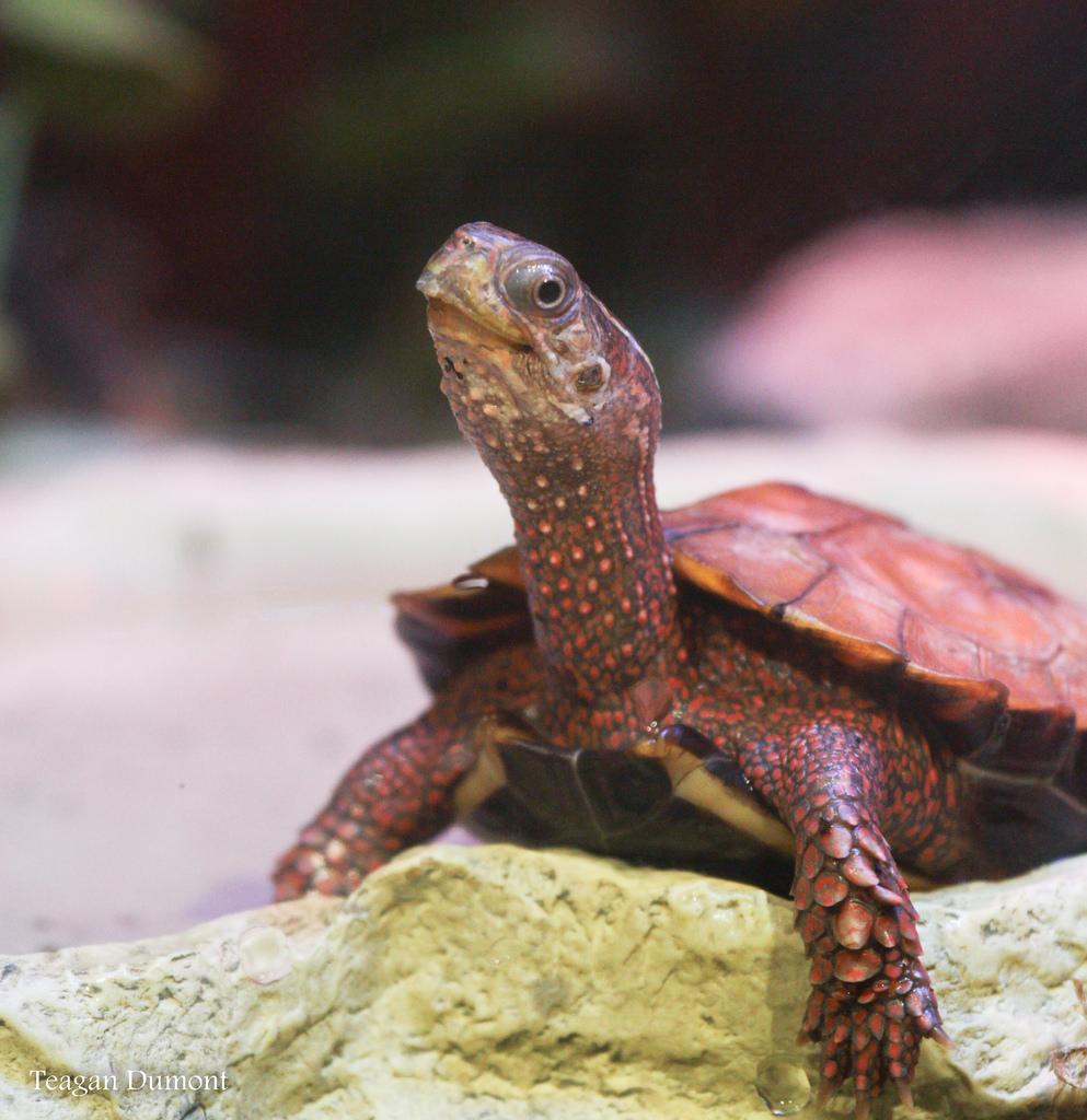 Black Breasted Leaf Turtle Cincinnati Zoo Amp Botanical