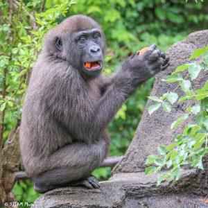gladys gorilla eating