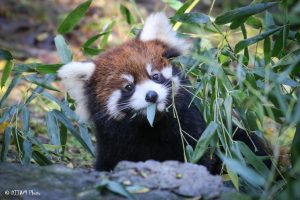 red panda eat bamboo
