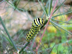 Fennel caterpillar