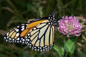 Monarch on clover (Photo: Kenneth Dwain Harrelson)