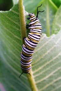 monarch caterpillar eat leaf USFWS
