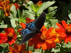 Pipeline swallowtail on zinnia