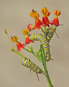 Monarch caterpillars on scarlet milkweed (Photo: Vicki DeLoach)